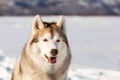 华美,自由和愉快的西伯利亚爱斯基摩人狗坐雪在冬天森林里在山背景的好日子 库存照片