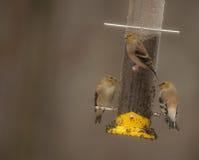 E agora há três--Pintassilgos americanos que alimentam na chuva Imagens de Stock Royalty Free