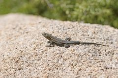 Side Blotched Lizard on a Desert Rock Royalty Free Stock Photo