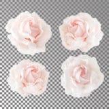 E Cabezas abiertas florecientes de rosas sin las hojas Fotografía de archivo libre de regalías