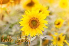 E Campo de Sunflowers fotografia de stock royalty free
