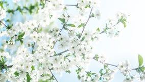 E cherry tła kwitnącego blisko Japan spring kwiecisty drzewo Fotografia Royalty Free