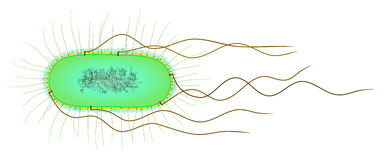 E. coli cell. Gram-negative bacterial cell (without ribosomes Royalty Free Stock Photo