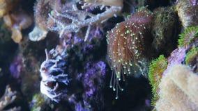 E Euphyllia -大polyped石珊瑚 股票视频