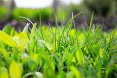 E Fermez-vous vers le haut de l'herbe fra?che r photographie stock
