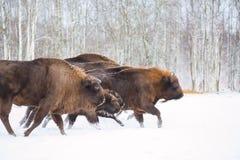 E Flock av den europeiska Aurochsbisonen, Bison Bonasus Naturlivsmiljö selec arkivbild