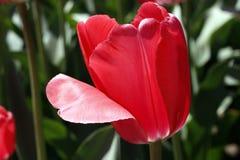 E Flores vermelhas das tulipas do amor foto de stock royalty free