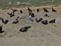 E Folla del piccione sulla via di camminata r r immagini stock libere da diritti