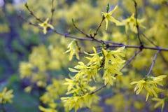 E Forsythia floreciente Foto de archivo libre de regalías