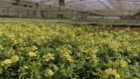 E Gr?npflanze mit gelben Blumen stock footage