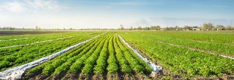 E gr?nsakrader Lantbruk jordbruk Landskap med jordbruks- land Nytt organiskt arkivbilder