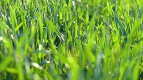 E Groene grasclose-up stock videobeelden