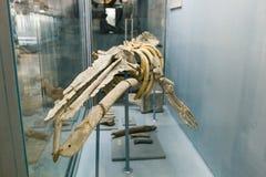 E Het fossiele voorhistorische overzeese dier van het Juragebergte in museum stock foto