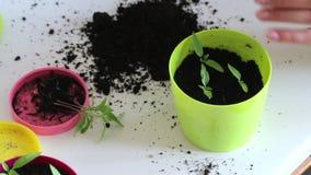 E Het overplanten van hete peperzaailingen in een grote pot stock videobeelden