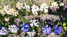 E Hyacintbloemen in de tuin Mooi openluchtlandschap stock foto