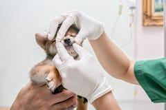 E Οι γιατροί εξετάζουν τα δόντια σκυλιών Ο κτηνιατρικός γιατρός κάνει έναν έλεγχο επάνω στο σκυλί Inu Shiba στοκ εικόνα