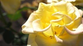 E Las rosas amarillas hermosas florecen en verano en el jard?n Primer Flor