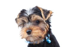 Side of a little yorkie`s head looking away Royalty Free Stock Photos