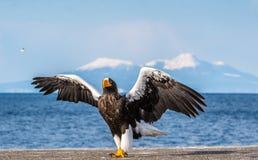 E Naukowy imi?: Haliaeetus pelagicus r fotografia royalty free