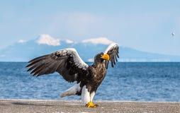E Naukowy imi?: Haliaeetus pelagicus r fotografia stock