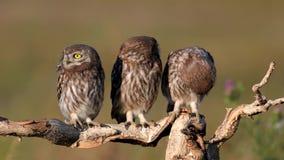 E noctua athene 3 молодой маленьких сычей на сухой ветви на красивой предпосылке лета Игра и муха сток-видео