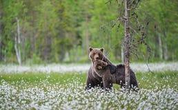 E Nombre científico: Ursus Arctos Arctos Verde natural foto de archivo