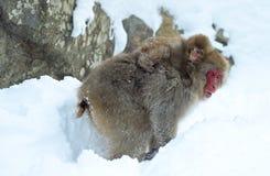 E O nome científico do macaque japonês: Fuscata do Macaca, igualmente conhecido como o macaco da neve naughty imagens de stock