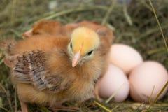 E Oeufs dans le nid photos stock