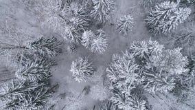 E Paesaggio di inverno nei pini bianchi della foresta archivi video