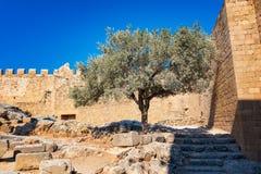 E parete di olivo accanto alle pareti medievali dei fortres di Johannites Fotografia Stock Libera da Diritti