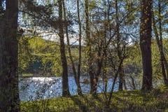 E Pinos en la orilla del río Rusia Fotografía de archivo
