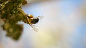 E Primo piano di un'ape di lavoro al rallentatore video d archivio
