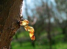 E Résine d'arbre Photographie stock