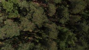 E r 照相机飞行在具球果的森林 股票录像