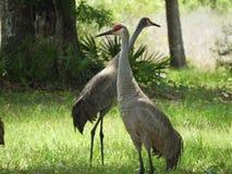 沙子小山起重机鸟在佛罗里达中部森林里  免版税库存照片