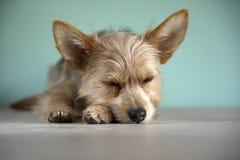 Gullig ‹för †för ‹för †för hund för valp för chihuahua för blandningbleumerle och för yorkshire terrier med ett bleuöga royaltyfria foton