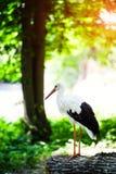 Красивый белый аист стоковое фото rf