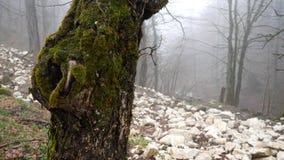 Закройте вверх для ствола дерева покрытого с зеленым мхом на туманной предпосылке леса, концепции тайны r r сток-видео
