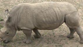 南白犀牛 野生动物 濒危动物 股票录像