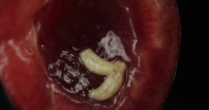 Frukt avmaskar i den ruttna körsbäret, svart bakgrund Larv av körsbärsröda flugor closeup lager videofilmer