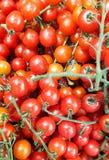 Mali pomidory na gałąź zdjęcie stock