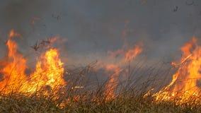 火焰燃烧着周围的自然 干草原大火燃烧 森林草原的野火 股票录像