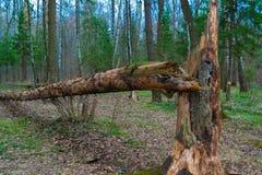 Πεσμένο δέντρο στο δάσος στοκ εικόνες
