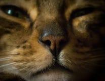 Slut för för Bengal kattnäsa och mun upp arkivfoton