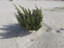 Zielony drzewo na białej piasek plaży, Pasożytniczy drzewo obraz royalty free