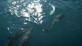 几只海豚在船或船前游泳 跳下来,看摄象机 动物和环境保护 股票录像