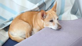Trauriger und einsamer Hund, der zu Hause auf dem Sofa liegt Der Hund wartet auf den Eigentümer, um zu arbeiten Rote Hundechihuah stock video footage