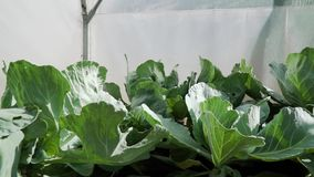 自温室增长的圆白菜充分的hd决议特写镜头 在床上的很多圆白菜 种田庭院的eco 影视素材