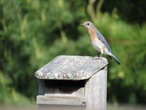 Żeński Bluebird na domu obrazy royalty free