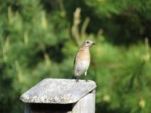 Żeński Bluebird na domu zdjęcie royalty free